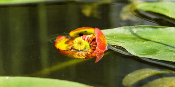 Vybíráme rostliny do zahradních jezírek
