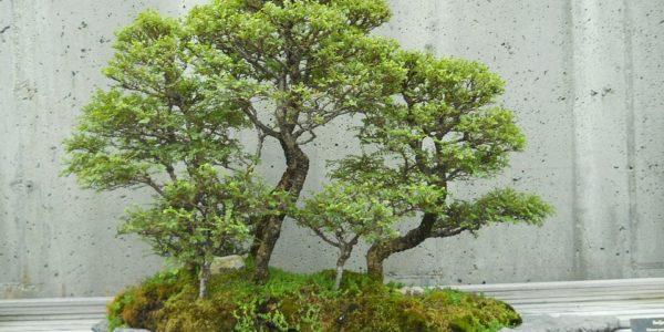 Krása orientu - bonsaje