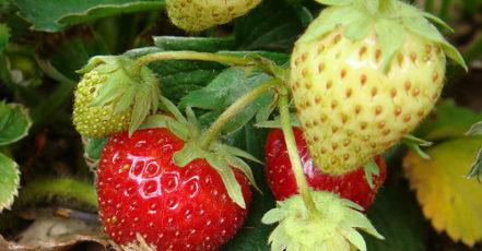 Kdy a jak sázet jahody