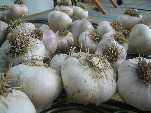 Pěstování česneku zvládne každý