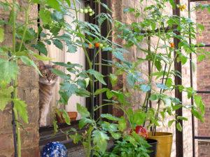 Vypěstujte si vlastní rajčata na balkóně