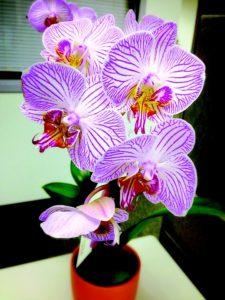 Pěstujeme orchideje v bytě