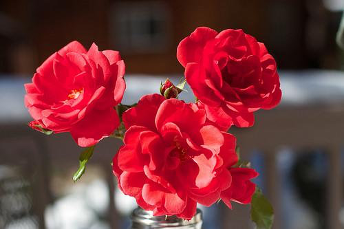 Stříhání růží