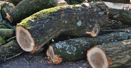 Správné kácení stromu může být věda
