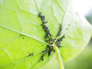 Objevily se vám mšice na zahradě?